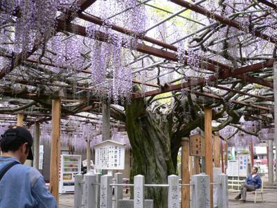 千年藤と芝桜3