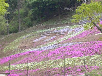 千年藤と芝桜10