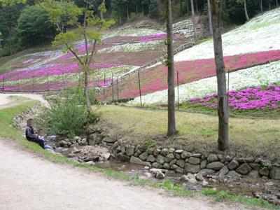 千年藤と芝桜11