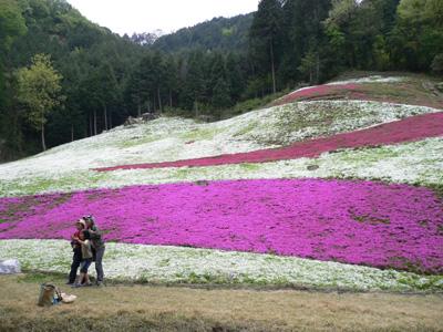 千年藤と芝桜9