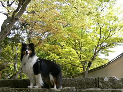 お寺の新緑4