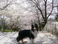 桜の園2009