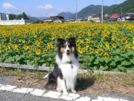 佐用ひまわり畑2008