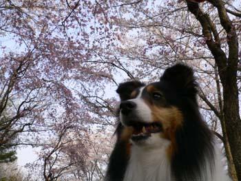 3桜とボーダーT