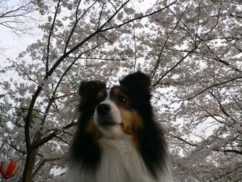 7桜とボーダーT
