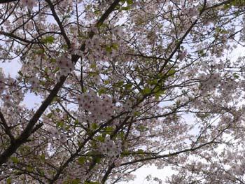 6桜吹雪が始まった
