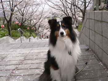 5桜吹雪が始まった