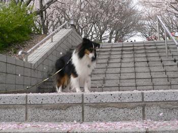 8桜吹雪が始まった
