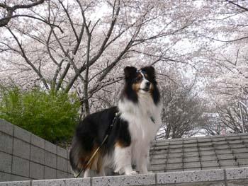 7桜吹雪が始まった