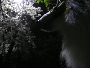 4夜桜は難しい