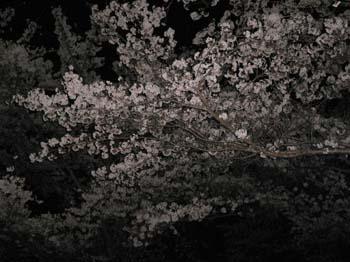3夜桜は難しい