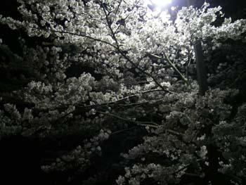 1夜桜は難しい