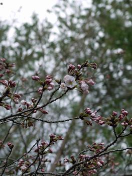21今日の桜_edited-2