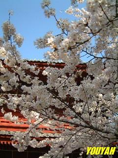増上寺のさくら
