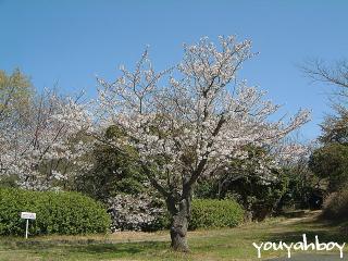 凛々しい桜