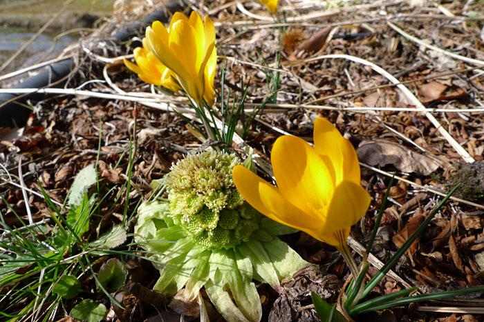 春花 飛騨 高山 春分