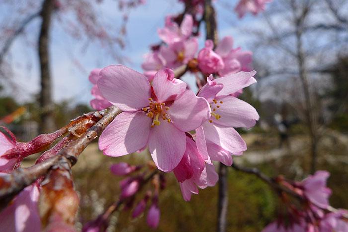 桜花 飛騨 高山 気功教室 日之本元極