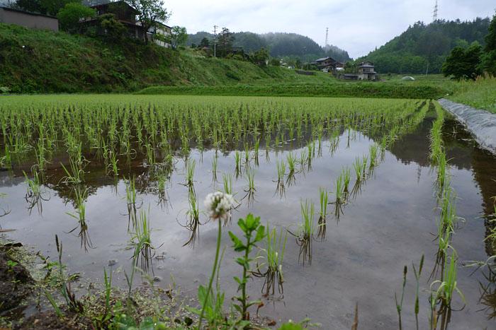 水稲 米作り 飛騨 高山 日之本元極