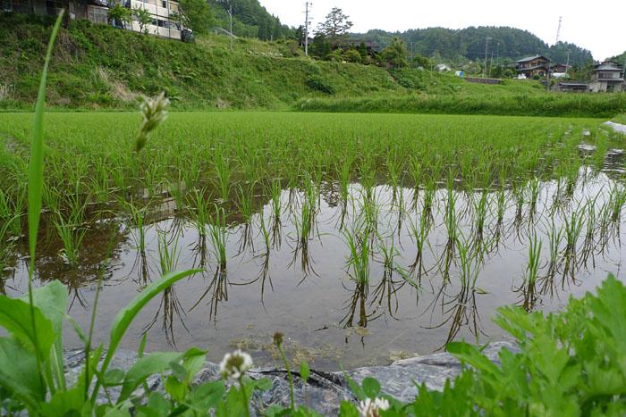 米作り 稲作 農業 ひだ 高山 日之本元極