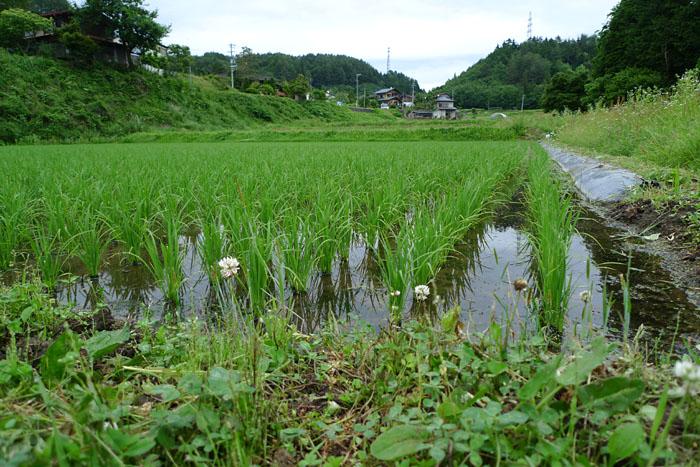 コシヒカリ 米作り 飛騨 高山 日之本元極