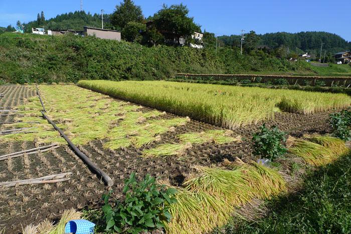 コシヒカリ 稲刈り 飛騨 高山 気功教室