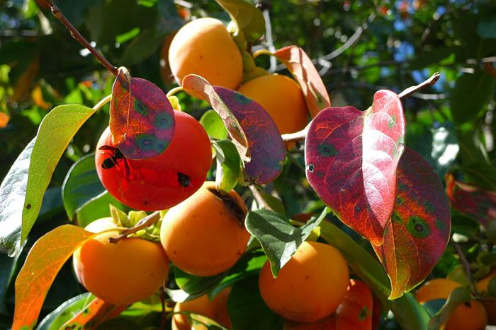 秋 収穫祭 実り 飛騨高山 日之本元極