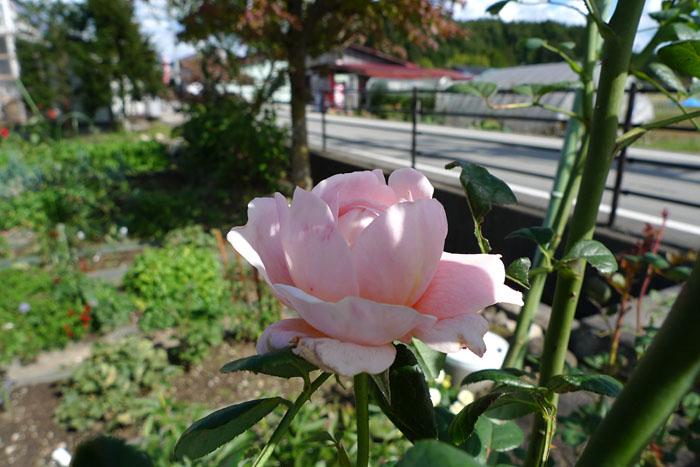ローズ バラ 薔薇 ばら 日之本元極