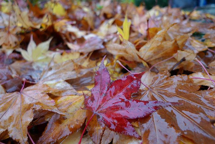 紅葉 もみじ 落ち葉 ひだ 高山