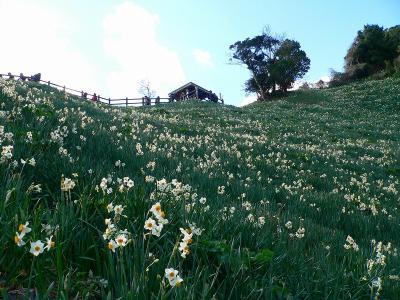 写真キャプション=山の斜面で健気に花を咲かせた「灘黒岩水仙郷」のスイセンたち