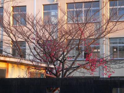 写真キャプション=小学校の校庭で咲き出した「紅梅」の花