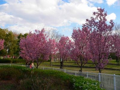 写真キャプション=「ソメイヨシノ」より一足先に咲き出した鶴見緑地の「ヨーコーザクラ」