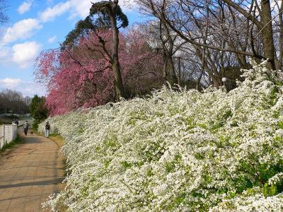 写真キャプション=「ヨーコーザクラ」と「ユキヤナギ」が咲き乱れる小径(こみち)