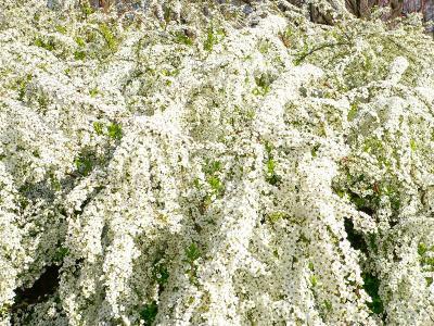 写真キャプション=小さな花が集まって、まるで雪をかぶったように見える「ユキヤナギ」の群生