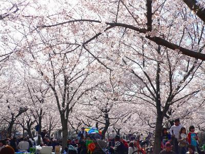 写真キャプション=城北公園の桜は満開で、見上げると桜の花の中に吸い込まれそうになった