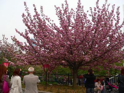 写真キャプション=燃え上がるように咲く造幣局の桜