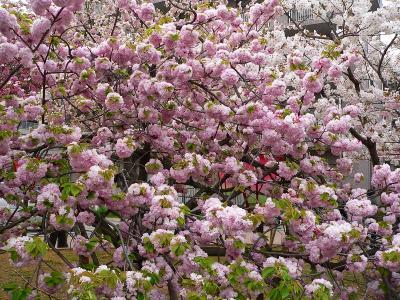 写真キャプション=造幣局には127種、354本の桜が植えられている