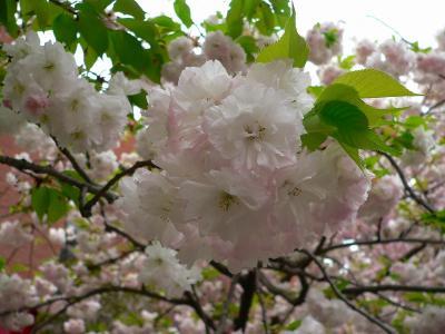 写真キャプション=短い期間を一所懸命に咲く桜の花