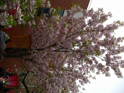 写真キャプション=「今年の桜」に指定された「都錦」
