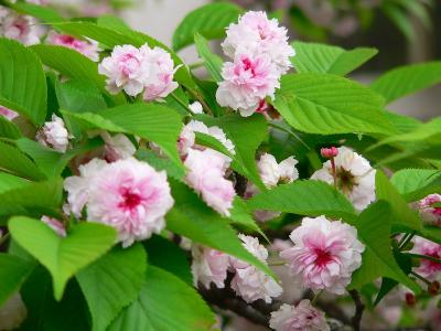 写真キャプション=日本で花弁数が最も多く、300~350枚もある「兼六園菊桜」