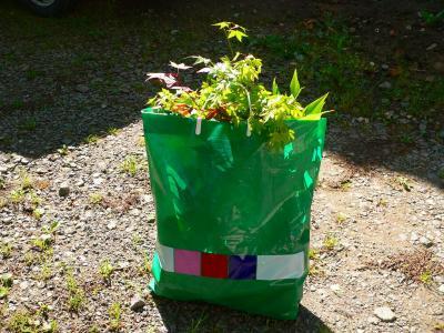写真キャプション=佐渡の畑から掘り起こし、大阪に持ってきた盆栽苗