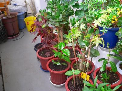 写真キャプション=大阪で鉢に飢え直した盆栽苗の一部(左側)。一番奥の黄色のバケツに入っているのが瀕死のモミジ