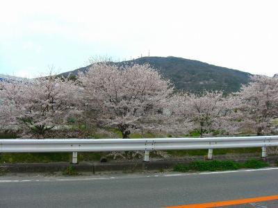 写真キャプション=「地元の生駒山をバックに開花する桜