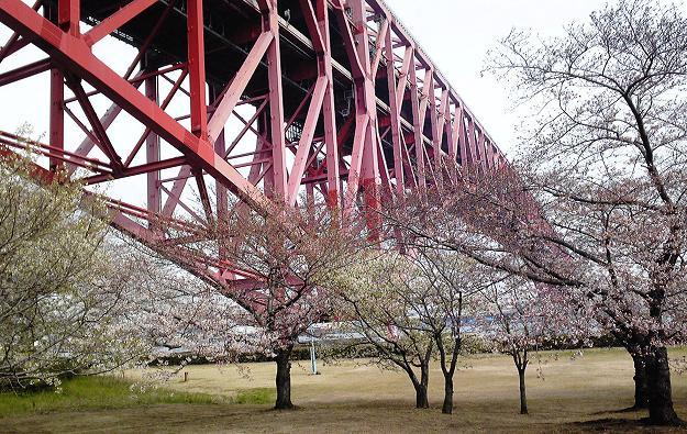 港大橋の桜
