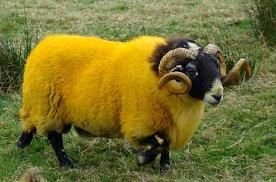 yellowSheep