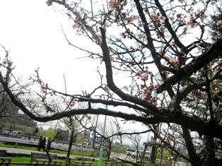 豊平川の花1