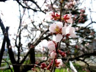 豊平川の花2