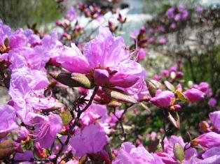 豊平川の花3