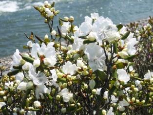 豊平川の花4