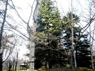 中島公園の白樺