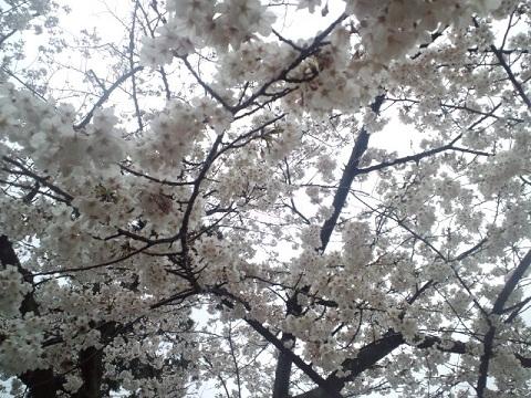 花見_ビジュー_桜